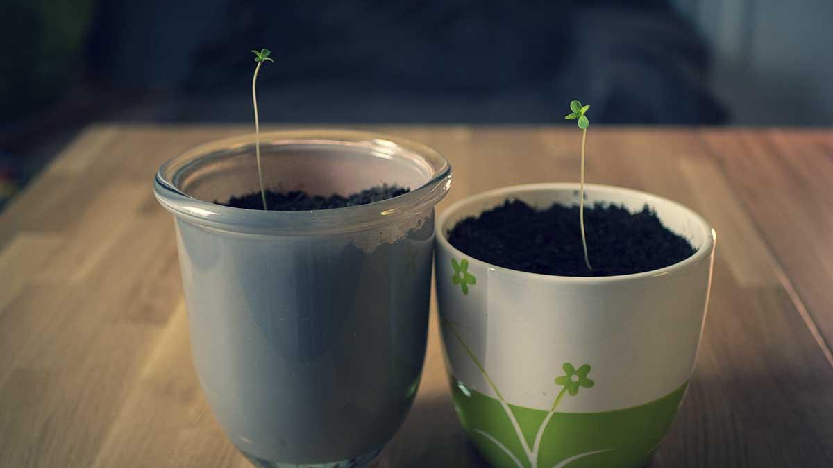 Kleine cannabis pflanzen Setzlinge