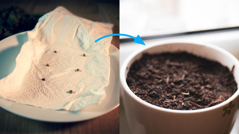 CBD Samen keimung küchenpapier dann in Erde topfen