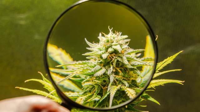 terpene in trichomen der cannabis pflanze