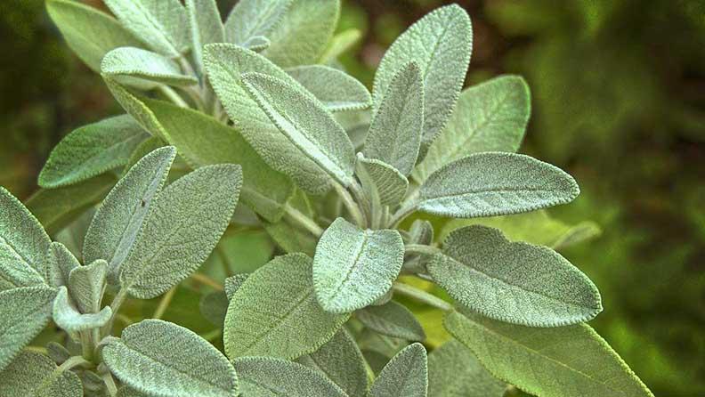 Salbei Blätter rauchen