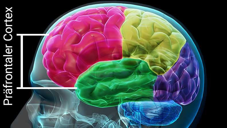 Der präfrontrale Cortex befindet sich im vordertes Hirnlappen